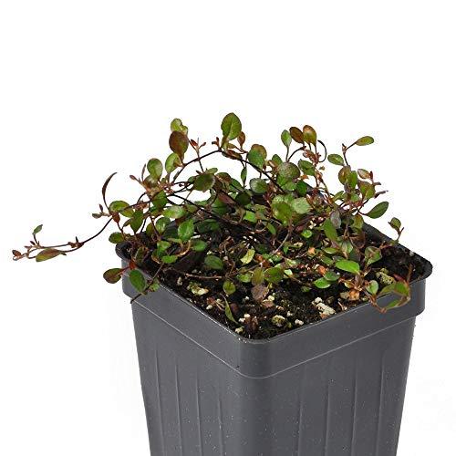 (Muehlenbeckia axillaris Mini-Leaf, Compact, Fairy Vine)