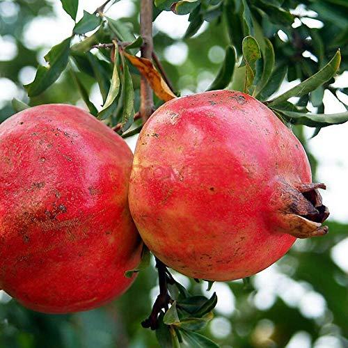 - Organic Pomegranate Fruit Tree Seeds, 20+ Premium Quality Tree Seeds, 90% Germination, Punica Granatum Red Seeds