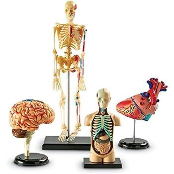 Amazon Learning Resources Anatomy Models Bundle Set Toys Games