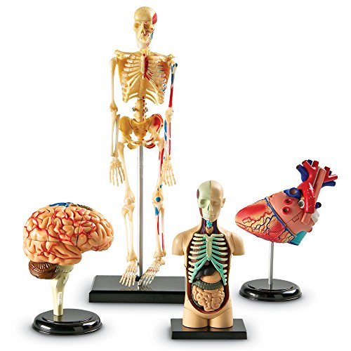 Learning Resources Anatomy Models Bundle Set, Brain, Body, Heart, Skeleton, Grades 3+ (Human Body Game)