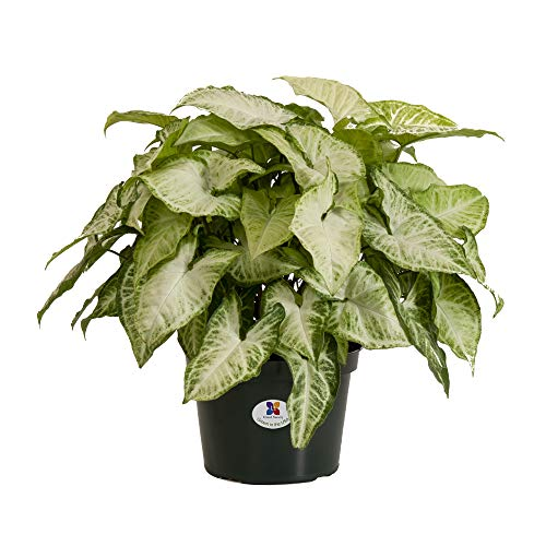 Plants that can survive in low light-Syngonium