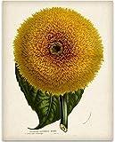 Giant Sunflower Botanical Illustration - 11x14 Unframed Art Print - Great Kitchen Decor and Gift...