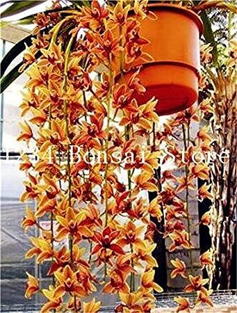 Pinkdose 200 Piezas de Cymbidium Bonsai, Colores Diferentes Mixtos ...