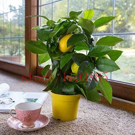 Semi 20 limone semi di bonsai da frutto Citrus limon albero da ...