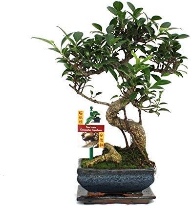 Fig chinois de bonsaï - Ficus retusa - 6ans
