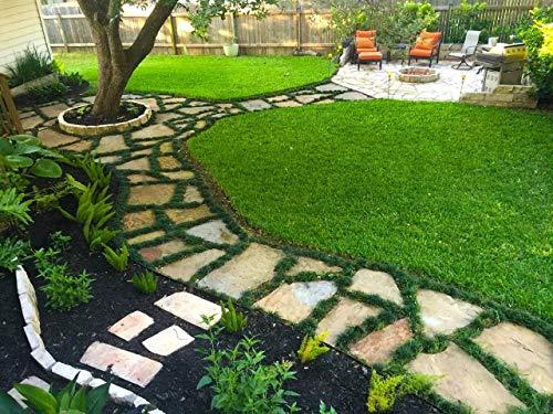 Dwarf Mondo Grass Qty 80 Live Plants Shade Loving Evergreen Ground Cover by Florida Foliage (Image #5)