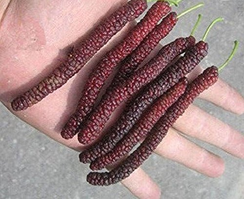 (Seeds and Farms Big Long Mulberry fruit trees, 60 seeds, edible organic fruit fructus mori)