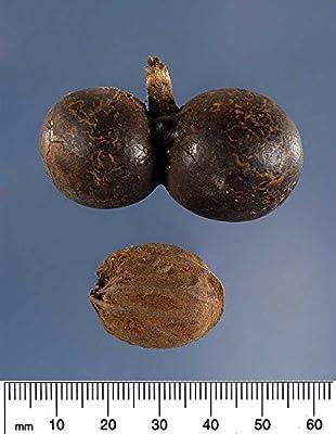 10 Silver Bismarck Palm Tree Seeds