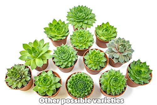 Fractal Succulents (20 Pack) Live Sempervivum Houseleek Succulent Rooted in Pots | Flowering Plant Leaves / Geometric Rosettes by Plants for Pets by Plants for Pets (Image #5)