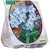 Ipheion 100 Stück Einblütiger Frühlingsstern Blumenzwiebel