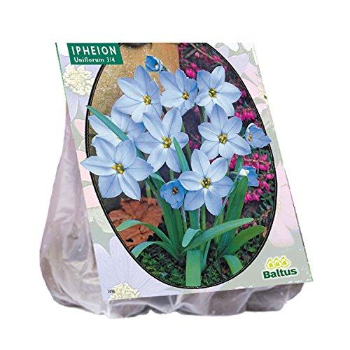 Ipheion 100 Stück Einblütiger Frühlingsstern Blumenzwiebel Baltus Blumenzwiebeln
