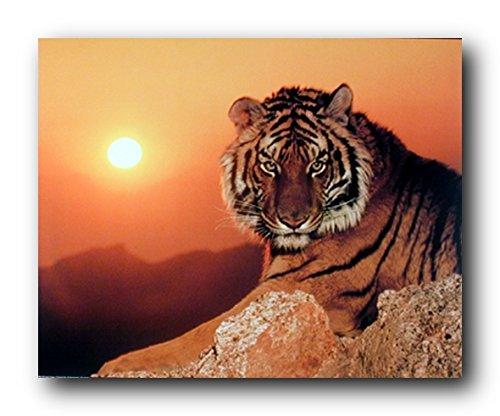 Wild Tiger At Sunset Wildlife Animal Wall Decor Art Print Poster