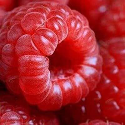 50 Seeds Jumbo RED Raspberry Bush Seeds Rubus Raspberries Sweet Fruit : Garden & Outdoor