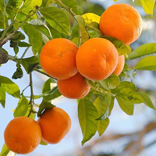 (Van Zyverden 83912 Citrus Tree Clementine Mandarin 1 Plant, 4