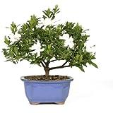 Brussel's Bonsai 53805 Gardenia Bonsai