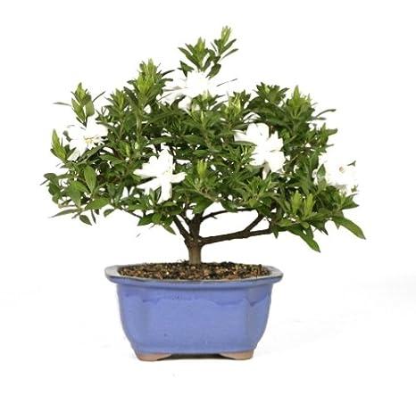 inspiring gardenia house plant. Brussel s Bonsai 53805 Gardenia Amazon com  Garden Outdoor