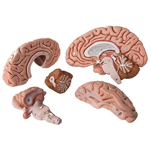 3B Scientific Classic Skull with Brain by 3B Scientific (Image #4)
