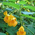 Jewelweed Seeds (Impatiens capensis) 10+ Rare Medicinal Wildflower Seeds + FREE Bonus 6 Variety Seed Pk - a $29.95 Value! Packed in FROZEN SEED CAPSULES for Growing Seeds Now or Saving Seeds for Years