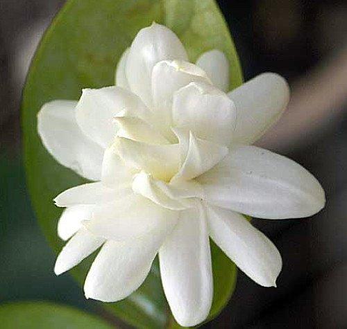 Arabian Tea Jasmine Plant - Belle of India - Sambac - 3'' Pot by Hirt's Gardens (Image #5)