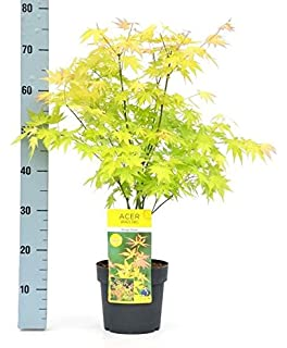 Acer Palmatum Summer Gold Tree In A 19cm Pot Japanese Maple
