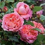 David Austin English Roses Boscobel