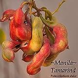 ~GUAMUCHIL~ Pithecellobium dulce RED MANILA TAMARIND Madras Thorn sml potd Plant