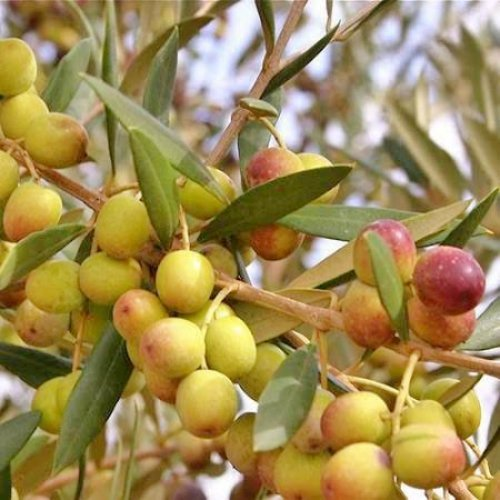 Olive Trees''Arbequina'' (Black) Includes Four (4) Live Plants by Hello Organics