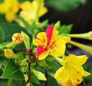 (four-o Clock * Ambizu *) semillas 20semillas de cada paquete Mirabilis Jalapa Colorful fragante jazmín