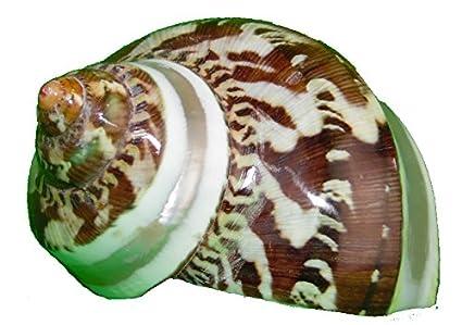 Conchas/caracol petholat Turbo / - // pulido de caracol de la cáscara de