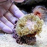 (海水魚 無脊椎) おまかせクマノミ ベッド イソギンチャク(1匹) 本州・四国限定[生体]