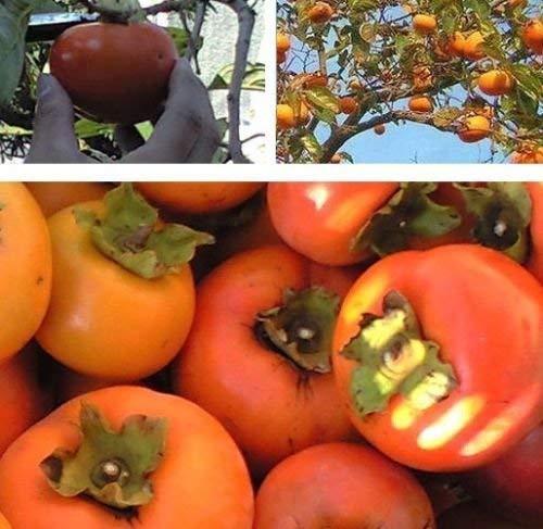 (Persimmon seedling Diospyros virginiana 2 year old plant, American persimmon)