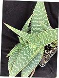 GTF 1 Aloe maculata, Soap Aloe - RK235