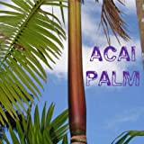 ~ACAI~ Palm Tree Euterpe oleracea Edible Berry LIVE Potted med sz PLANT 24-36+in