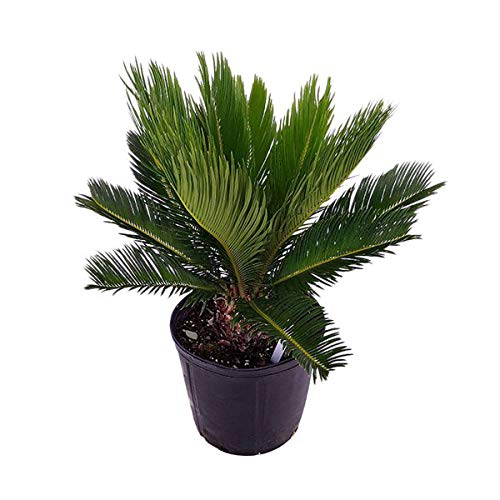 PlantVine Cycas revoluta, King Sago Palm, Cycad - Large - 8-10 Inch Pot (3 Gallon), Live Indoor ()