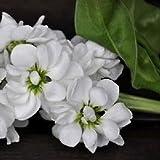 Stock White Flower Seeds (Matthiola Incana Ten Week White) (100)