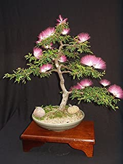 albizia julibrissin mimosa bonsai persian silk tree pink 10 seeds bought bonsai tree