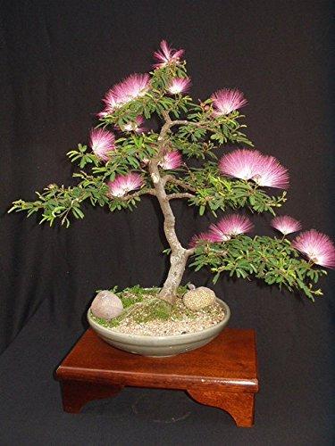 Albizia Julibrissin Mimosa Bonsai Persian Silk Tree, Pink, 10 Seeds