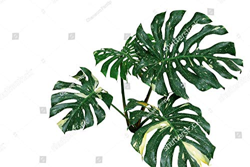 KwikMedia Poster of Variegated Plant Leaves of Monstera or Split-Leaf philodendron (Monstera deliciosa) The Tropical Foliage Exotic houseplant Isolated on White Background, Clipping Path Included