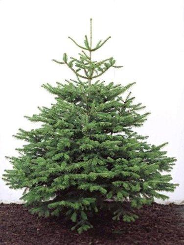 Nordman Fir Real Christmas Tree - 175/200cm (6ft): Amazon.co.uk ...
