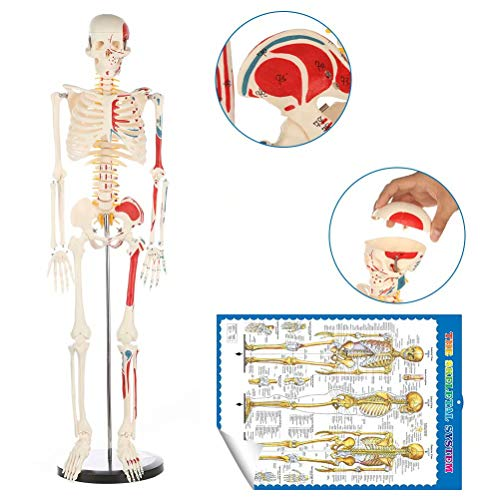 Human Skeleton Model for Anatomy Mini Human Skeleton Model with Metal Stand - 33.4 Inches Tall with Removable Arms and Legs Scientific Study Painted and Numbered Muscle Insertion and Origin Points