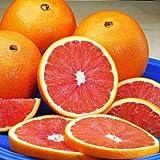 Cara Cara Navel Orange Trees - Large Orange Citrus Trees, Ready to Give Fruit the 1st Year