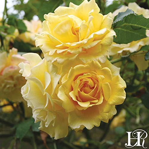 2-Pack Own-Root One Gallon Gold Badge Climbing Roses by Heirloom Roses by Heirloom Roses (Image #3)