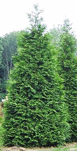 amazon com green giant arborvitae thuja plicata live plant 4