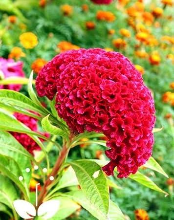 30 Mix jardín de flores de color Cresta de gallo Celosia Cristata Semillas Raras: Amazon.es: Jardín