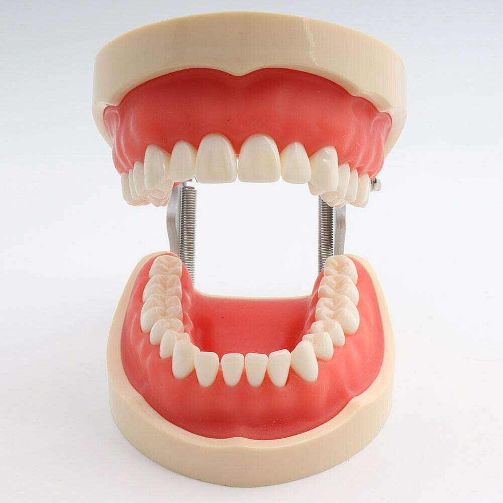Dental Teaching Study Typodont modelo 200 estilo Kilgore ...