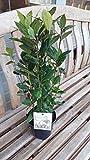 Laurus nobilis/Bay tree, 35-40cm Tall in 1.5L Pot, Cooking Bay Leaf, Bushy Evergreen Shrub 3fatpigs