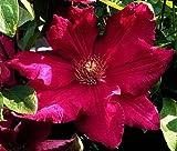"Ernest Markham Clematis Vine - Magenta-Red - 2.5"" Pot"