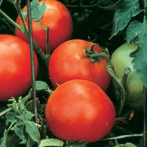 (Burpee 'Celebrity' Hybrid | Slicing Red Tomato | Disease Resistant | 35 Seeds)