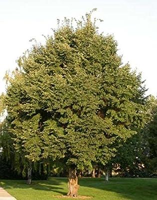 500 Littleleaf Linden Tree Seeds, Tilia Cordata