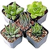 CAPPL Haworthia Set of 5 Succulents